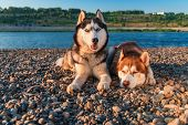 Beautiful Pair Of Siberian Husky Dogs Rest On The Shore Against A Calm River In Warm Summer Evening. poster