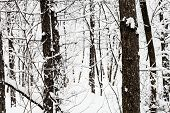 Pine Tree Trunks In Snowy Forest Of Timiryazevskiy Park Of Moscow City In Overcast Winter Day poster
