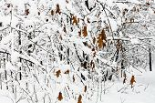 Dried Maple Leaves On Snow-covered Branches In Snowy Forest Of Timiryazevskiy Park Of Moscow City In poster