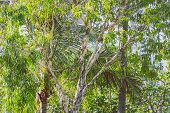 Close-up Of Beautiful Subtropical Gum Tree And Palm Trees Shot In Queensland, Australia In Summer poster