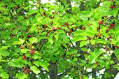 Branch Of Ripe Mulberry. Berries On Tree. Ripe Mulberry Hanging On Tree. Crop Of Mulberry poster