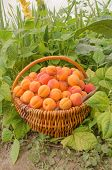 Basket Of Fresh Apricots In The Garden. poster