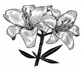 stock photo of hand drawn  - Hand drawn lily - JPG