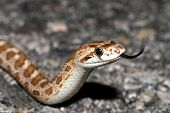 stock photo of harmless snakes  - glossy snake flicking tongue - JPG