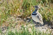 Double-banded Courser (rhinoptilus Africanus), Also Known As The Two-banded Courser Is An African Bi poster