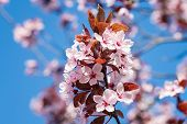 Spring Cherry Blossoms, Pink Flowers On A Blue Sky. Spring Floral Background. Cherry Flowers Blossom poster
