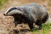 Badger Walking In The Forest, Animal In Nature Habitat, Poland, Europe. Wild Badger, Meles Meles, An poster