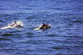 Common Dolphins. Wild Common Dolphins Swim, Jump and Play in a Pod of Dolphins in the Pacific Ocean  poster