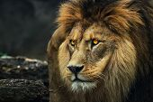 Portrait Of A Lion From A Profile. Poster Majestic Lion. Photo From Animal Life. poster