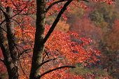 picture of ash-tree  - beautiful brilliantly colored autumn ash tree - JPG