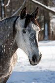 stock photo of shire horse  - White horse in a cold winter pasture