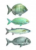 stock photo of mullet  - Collection of a mediterranean fish The Sharpsnout Sea Bream  - JPG