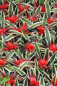 stock photo of tillandsia  - The red flowers cryptanthus beautiful green leaves - JPG