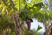 picture of bunch bananas  - Green Bananas on a tree in Hawaii - JPG