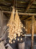 pic of rafters  - Bunches of drying Nigella plant herbs hanging from rafters of wooden barn - JPG