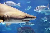 stock photo of undersea  - A shark is swimming in the deep water