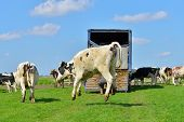 picture of truck farm  - cattle of cows are jumping and running in green meadow after transport from winter stable - JPG