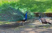 picture of peahen  - Peacock courting ritual - JPG