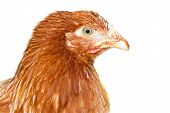 Young Pullet Looking Ahead