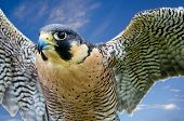 stock photo of hawk  - Peregrine Falcon  - JPG