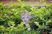 foto of king cobra  - wild spectacle cobra snake in indian jungle - JPG