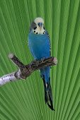 picture of ceres  - Male budgie sitting on a perch with green leaf in background - JPG