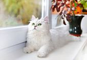White cat lying on the windowsill and staring up.
