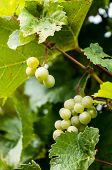 foto of monk fruit  - Grapes on the Vine at Gray Monk winerys