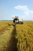 Farmer Harvest Rice With Combine Harvester