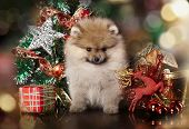 stock photo of puppy christmas  - Pomeranian spitz - JPG