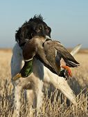 picture of english setter  - A hunters dog with a Drake Mallard - JPG