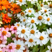 stock photo of zinnias  - Beautiful white Narrowleaf Zinnia or Classic Zinnia flowers background - JPG