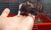 foto of caged  - Two rats in a cage one rat gets out on human hand - JPG