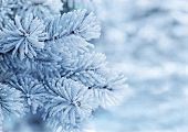 foto of blue spruce  - Branches of blue spruce is covered with frost - JPG