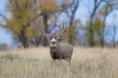 stock photo of mule deer  - a big mule deer buck standing in a field - JPG