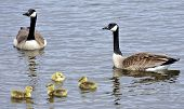 stock photo of mother goose  - Canada Geese and their newly hatched little ones - JPG
