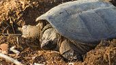 picture of laying eggs  - A common snapping turtle  - JPG