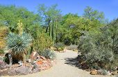 image of ocotillo  - The Organ Pipe Cactus  - JPG