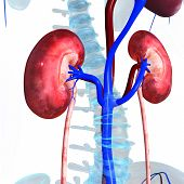 image of skeletal  - Kidneys plays important role in excretory system - JPG