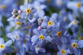 picture of forget me not  - Beautiful floral background of blue forget - JPG