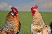 stock photo of cockerels  - Two roosters against each other on field - JPG