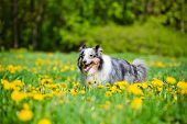 stock photo of sheltie  - blue merle sheltie dog outdoors in summer - JPG