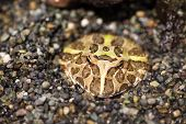 stock photo of pacman frog  - tropical and large frog in natural habitat - JPG