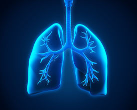 picture of apex  - Illustration of Lung and Bronchi - JPG