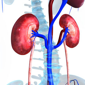 stock photo of excretory  - Kidneys plays important role in excretory system - JPG