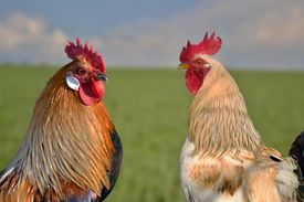 picture of roosters  - Two roosters against each other on field - JPG