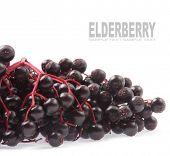 foto of elderberry  - The Elderberry Sambuscus Nigra - JPG