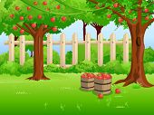 picture of bent over  - Apple orchard with branches bent under the weight of the apples - JPG
