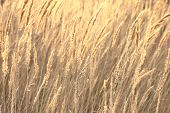 picture of marshlands  - close up of sedge grass in autumn backlit in sun background.