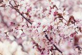 stock photo of sakhalin  - japan cherry sakura flowers in bloom closeup photo - JPG